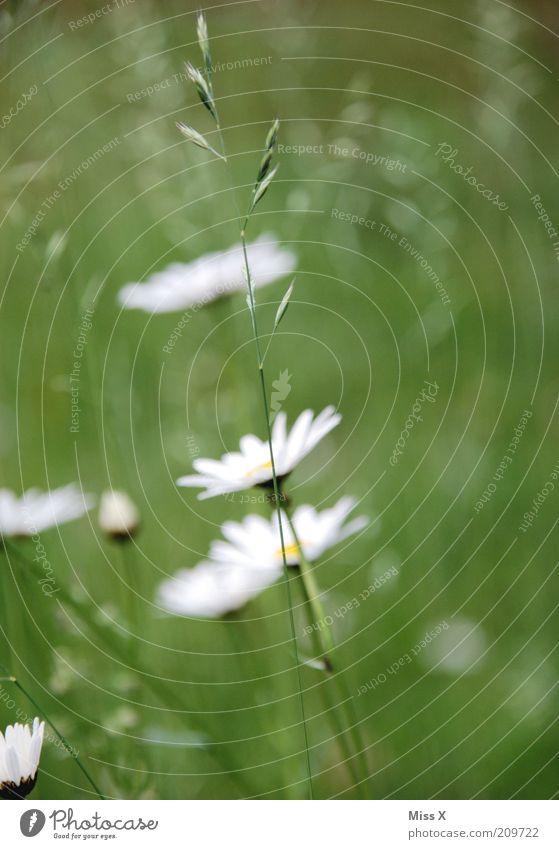 Margie Natur weiß Blume grün Pflanze Sommer Wiese Blüte Gras Frühling Blühend Halm Schönes Wetter Blumenwiese Margerite