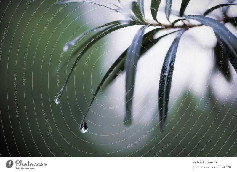 raindrops keep falling Umwelt Natur Pflanze Wasser Wassertropfen Sommer Wetter schlechtes Wetter Regen Sträucher Grünpflanze exotisch hängen Stimmung ruhig