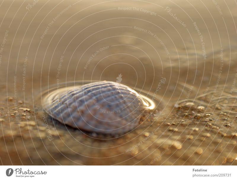 Welle liebkost Muschel Urelemente Erde Wasser Sommer Ostsee Meer hell nass natürlich Farbfoto mehrfarbig Außenaufnahme Menschenleer Textfreiraum rechts