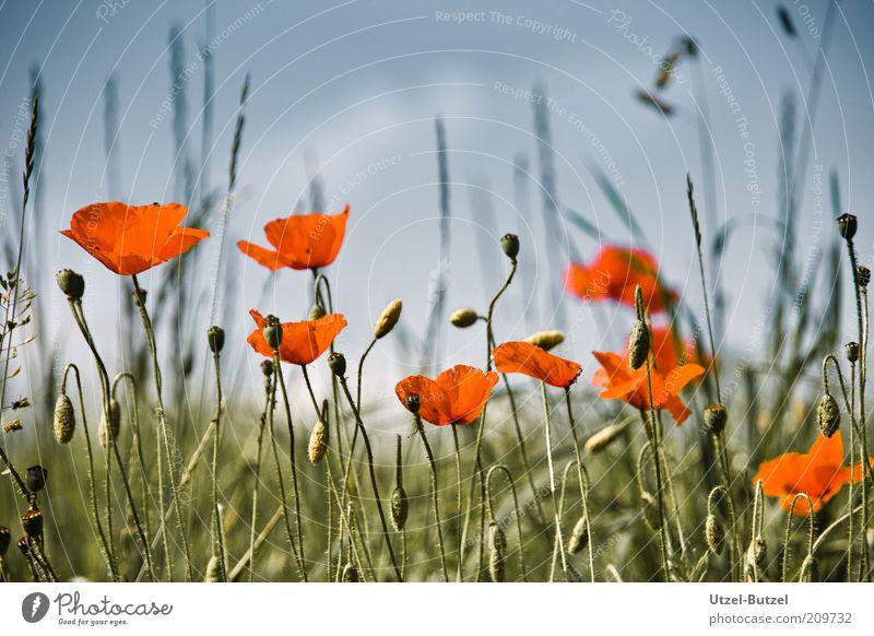 Mohnfeld Natur schön grün rot Wiese Blüte Gras Landschaft Feld Umwelt ästhetisch Wachstum Blühend Duft Blumenwiese