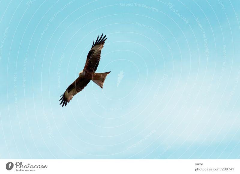 Überflieger Jagd Freiheit Umwelt Natur Luft Himmel Tier Wildtier Vogel Flügel 1 fliegen blau Kraft Macht Konzentration Greifvogel Feder Spannweite Adleraugen