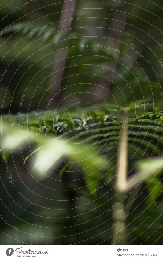 Der Dschungel vor der Haustür Umwelt Natur Pflanze Sommer Farn Grünpflanze Wildpflanze dunkel grün Unterholz unwegsam tief bodennah Farnblatt diffus Farbfoto