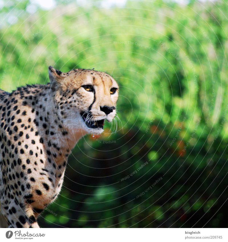 Gepard Tier Katze Tiergesicht Fell 1 atmen Blick gelb grün achtsam Farbfoto Außenaufnahme Schwache Tiefenschärfe Tierporträt fauchen Tag