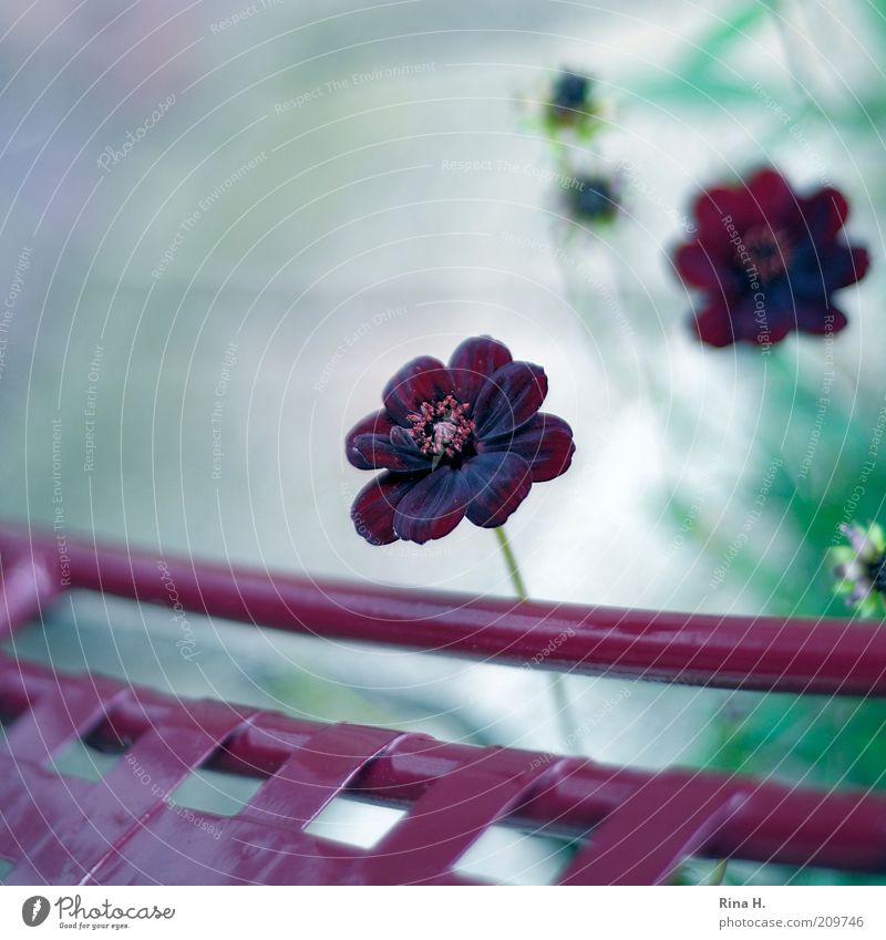 Schokoladenblümchen Natur Pflanze Blume Blühend authentisch violett rot Zufriedenheit Lebensfreude Gartenstuhl Schmuckkörbchen Stillleben Farbfoto Außenaufnahme