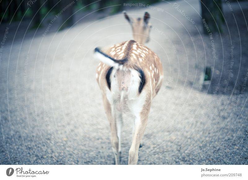 Reh-Pobbes Tier Wildtier Zoo 1 frech niedlich Hinterteil gehen flüchten Streichelzoo Flucht Gedeckte Farben Gehege Rehkitz Bleßwild Tierjunges Farbfoto