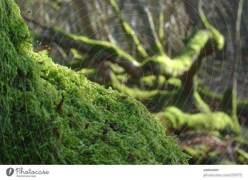 Makromoos Natur alt Baum grün Ast Verfall Moos Zweig Schottland Moor morsch