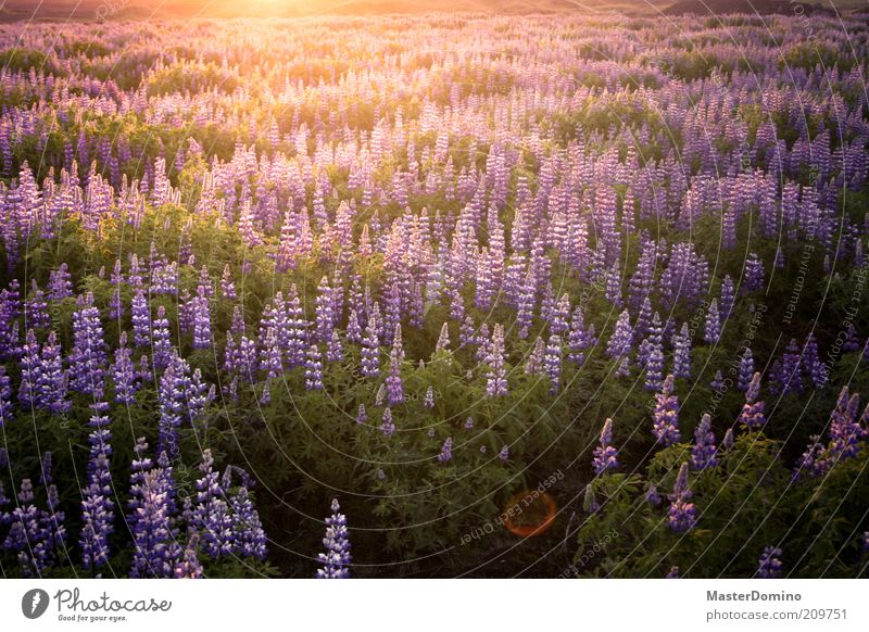 Lupinen Natur schön Blume Pflanze Ferne Farbe träumen Landschaft Zufriedenheit elegant Umwelt ästhetisch violett Vergänglichkeit natürlich Unendlichkeit