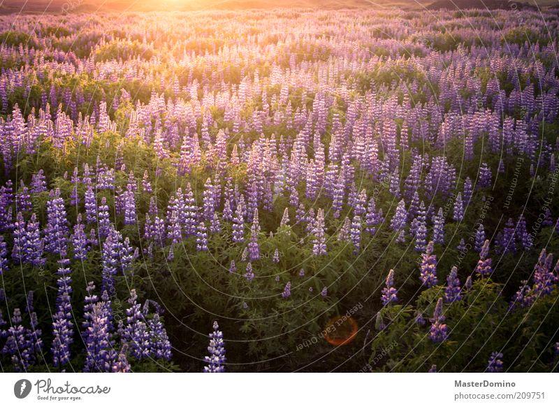 Lupinen Umwelt Natur Landschaft Pflanze Sonnenaufgang Sonnenuntergang Sonnenlicht Blume Wildpflanze Lupinenfeld Unendlichkeit schön violett Geborgenheit