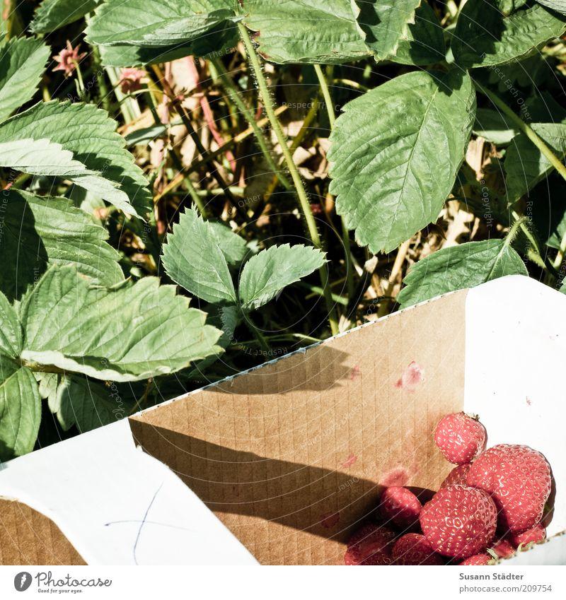 X Pflanze rot Sommer Blatt Ernährung Lebensmittel Frucht frisch süß Ernte Bioprodukte Erdbeeren Korb fruchtig pflücken Vegetarische Ernährung