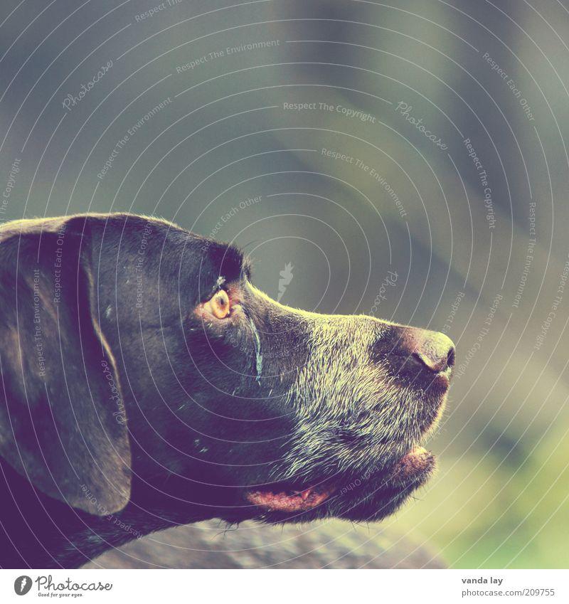Freund Tier Haustier Hund 1 loyal deutsch kurzhaar Jagd Jagdhund Farbfoto Textfreiraum rechts Textfreiraum oben Freisteller Unschärfe Schwache Tiefenschärfe