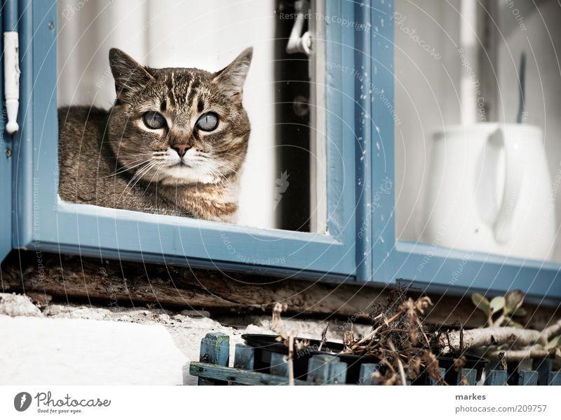 katzeee! Haustier Katze 1 Tier muskulös blau Fenster weiß Farbfoto Gedeckte Farben Außenaufnahme Menschenleer Tag Sonnenlicht Schwache Tiefenschärfe