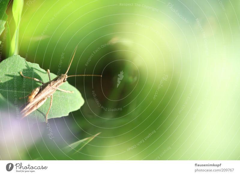 Kleiner Hüpfer Natur Pflanze Blatt Wiese Tier 1 beobachten hocken sitzen natürlich grün geduldig ruhig gefräßig Heuschrecke Insekt Farbfoto Außenaufnahme