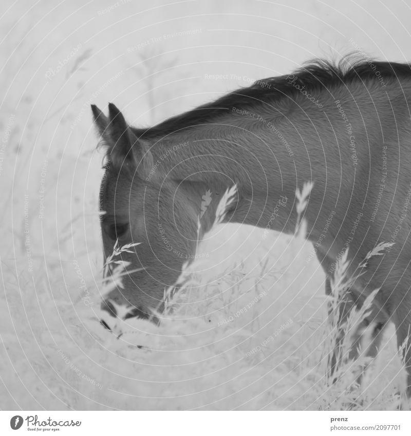 Pferdchen Umwelt Natur Landschaft Pflanze Tier Sommer Schönes Wetter Gras Sträucher Wiese Feld 1 grau schwarz weiß Fohlen Infrarotaufnahme Schwarzweißfoto