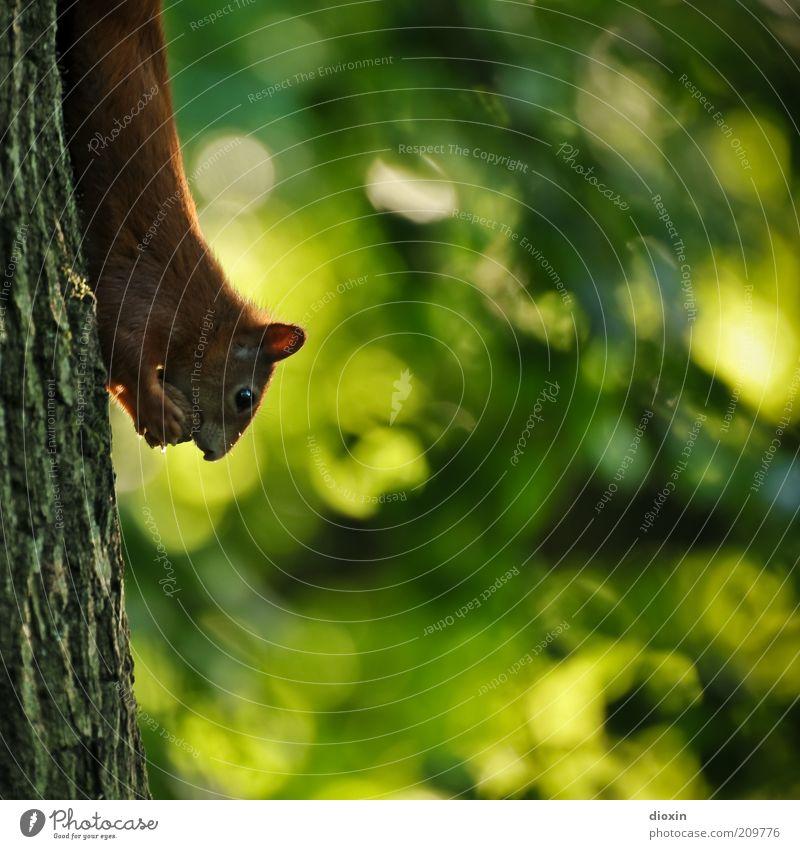upside down Umwelt Natur Pflanze Tier Sommer Baum Baumstamm Baumrinde Park Wald Wildtier Tiergesicht Fell Krallen Pfote Eichhörnchen 1 festhalten Fressen hängen
