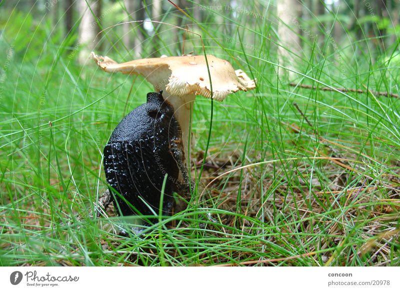 Das Objekt der Begierde Wald Gras schleimig Fressen Pilz Schnecke