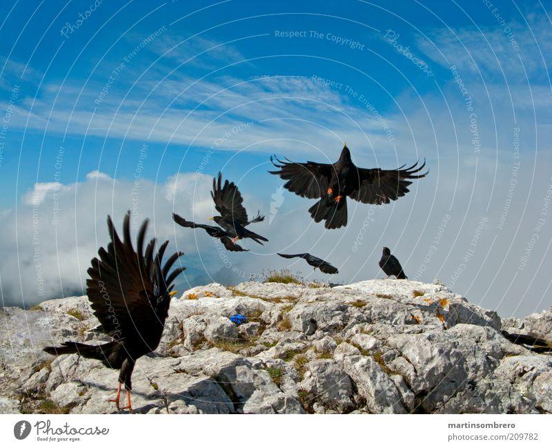 Dolen am Gipfel Tier Wildtier Vogel Tiergruppe Felsen Stein blau grau grün schwarz Flügel Landen Abheben wild ausgestreckt Farbfoto Außenaufnahme Menschenleer