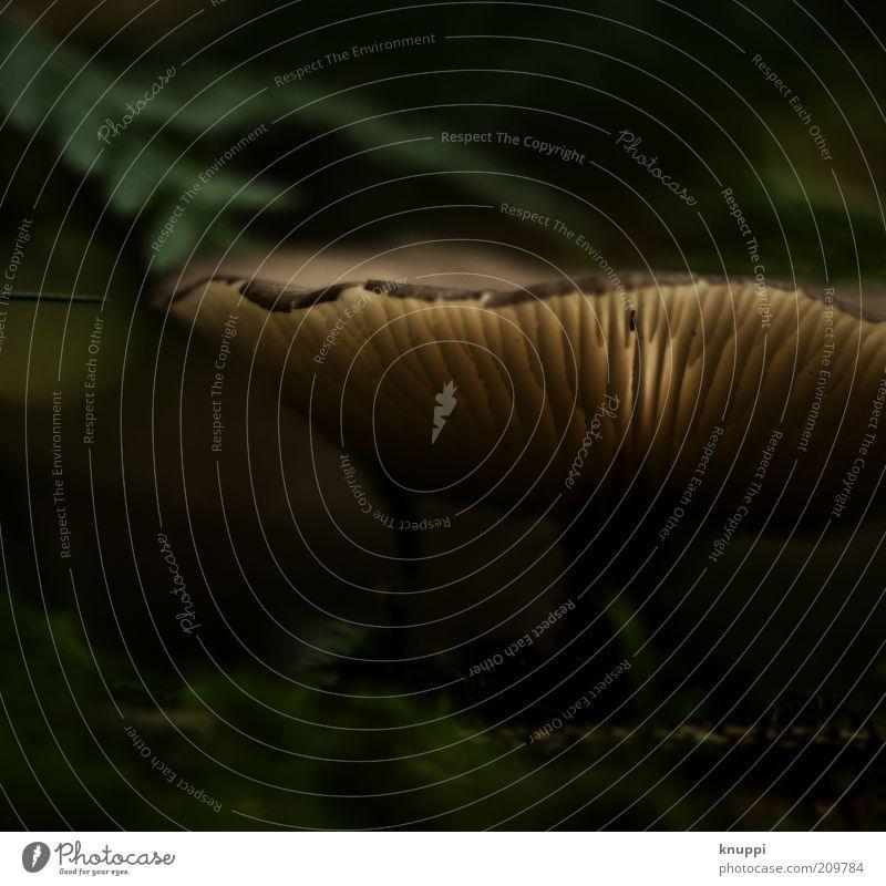 Leuchtpilz Natur grün Pflanze Sommer ruhig schwarz dunkel Herbst braun Lebensmittel Umwelt Wachstum bedrohlich außergewöhnlich Pilz