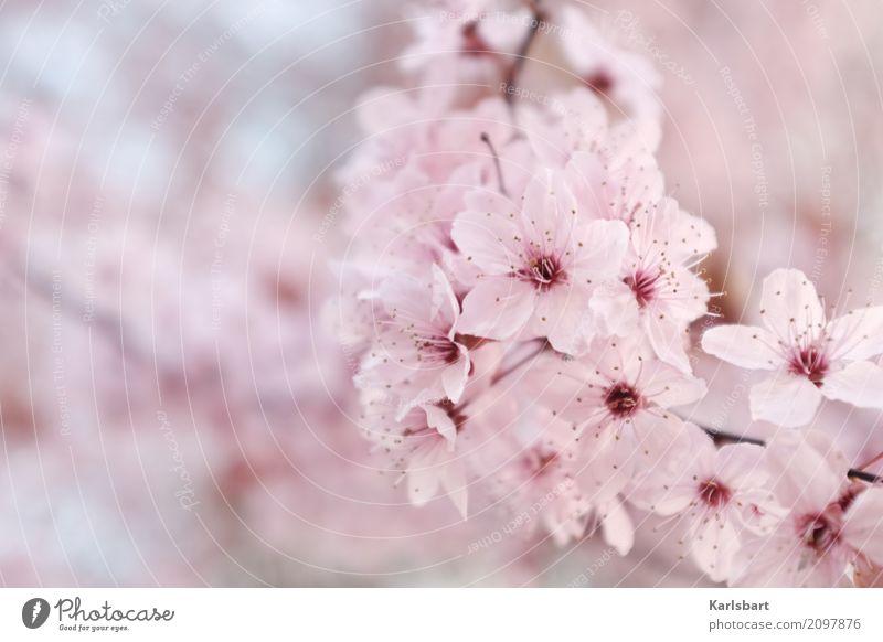hana Natur Pflanze Frühling Schönes Wetter Baum Blüte Garten Park frisch Gesundheit hell natürlich rosa Beginn Kirschblüten Frühlingsgefühle Frühlingsfarbe