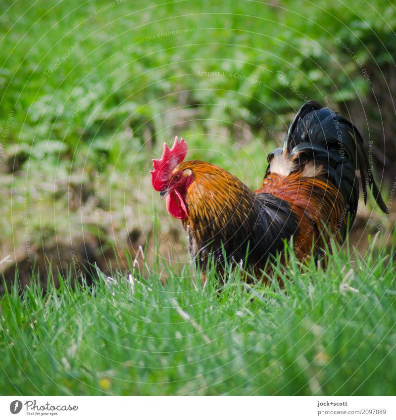 auf Gras am wohlsten Tier Frühling Franken Nutztier Hahn 1 Fressen Wachstum authentisch frei frisch natürlich saftig grün Zufriedenheit Idylle Leben Stimmung