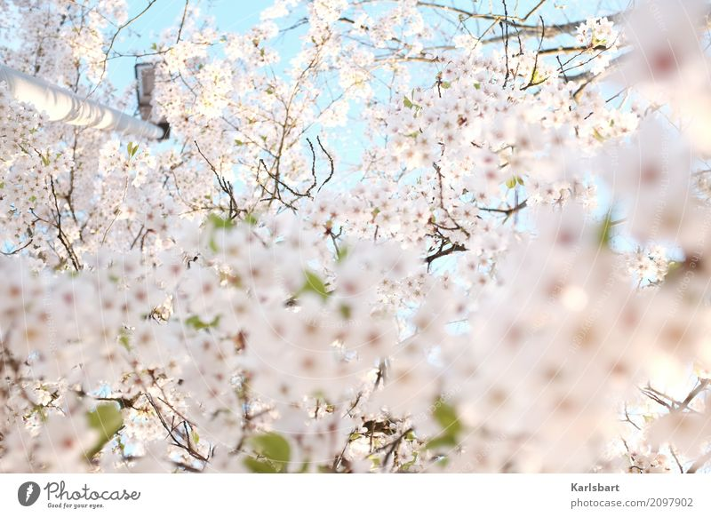 Luftig | Luftig Tralalalala Natur Pflanze Himmel Wolkenloser Himmel Frühling Schönes Wetter Baum Blüte Park hell Beginn Kreativität Stimmung träumen Blühend