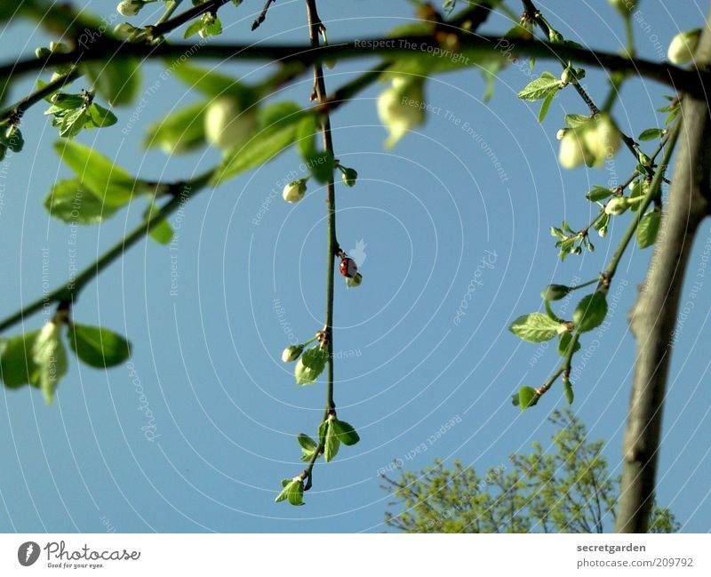 auf den grünen zweig gekommen. Umwelt Natur Pflanze Wolkenloser Himmel Frühling Sommer Blatt Blüte Grünpflanze Wachstum blau ästhetisch Zweig Blattknospe