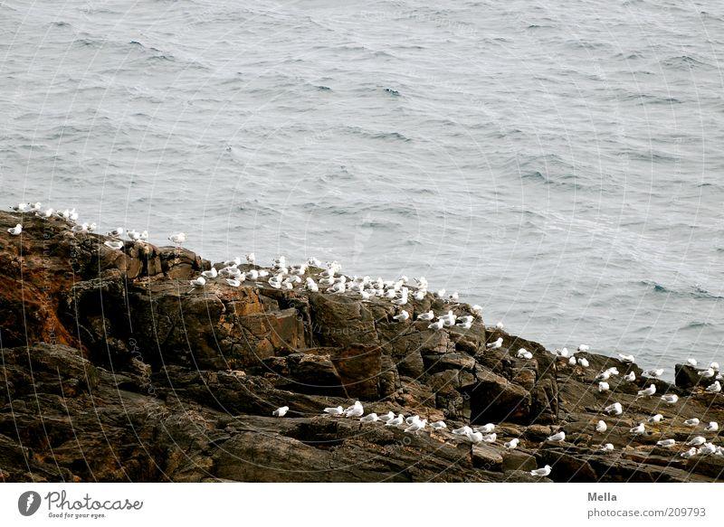 Eins, zwei, drei, ganz viele Umwelt Natur Tier Küste Meer Insel Klippe Felsen Vogel Möwe Tiergruppe Schwarm Stein hocken sitzen warten frei Zusammensein