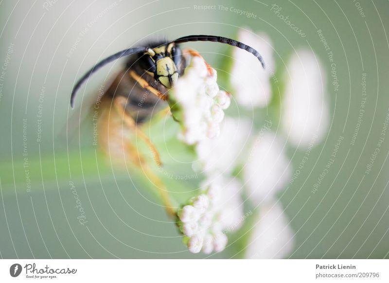 Schlafplatz Natur weiß Blume Pflanze Sommer Auge Tier Blüte Umwelt sitzen Tiergesicht Insekt Wildtier Fühler Wespen Makroaufnahme