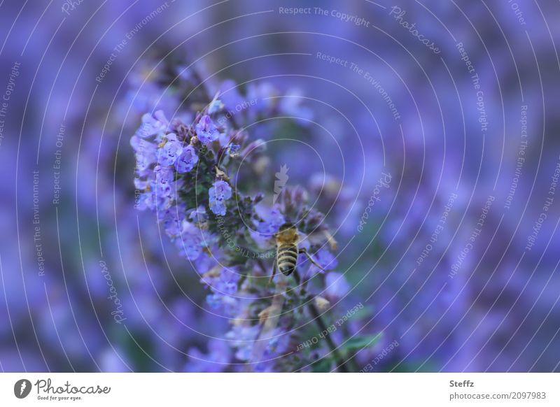 lavender blue Natur Pflanze blau Sommer Farbe Blüte Garten Park verrückt Blühend violett Insekt Duft Biene Lavendel sommerlich