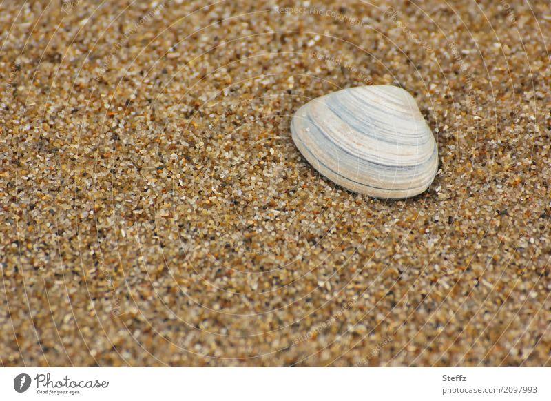 Muschel im Sand Strand Sandstrand Sommerurlaub Muschelschale maritim Nordseestrand Strandmuschel Sommergefühl Sandkörner Nordseemuschel Sandfarben