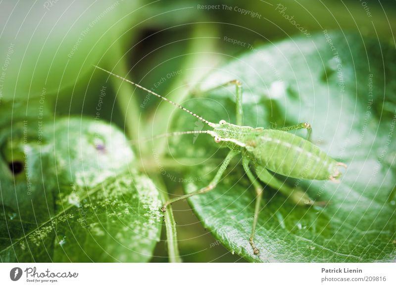 grüner Hüpfer Umwelt Natur Pflanze Tier Sommer Blatt Grünpflanze Nutzpflanze Garten Wildtier Tiergesicht 1 sitzen Heuschrecke Fühler Neugier Blick Auge Beine