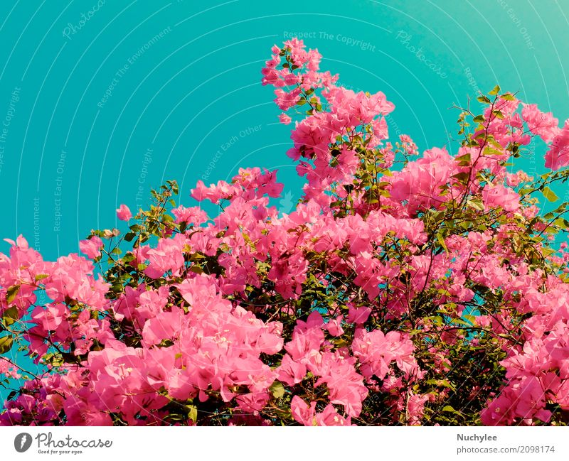 Bush von Bougainvillea Blumen Pflanze blau Sommer Farbe schön grün Blatt Blüte natürlich Garten rosa Dekoration & Verzierung retro frisch Romantik