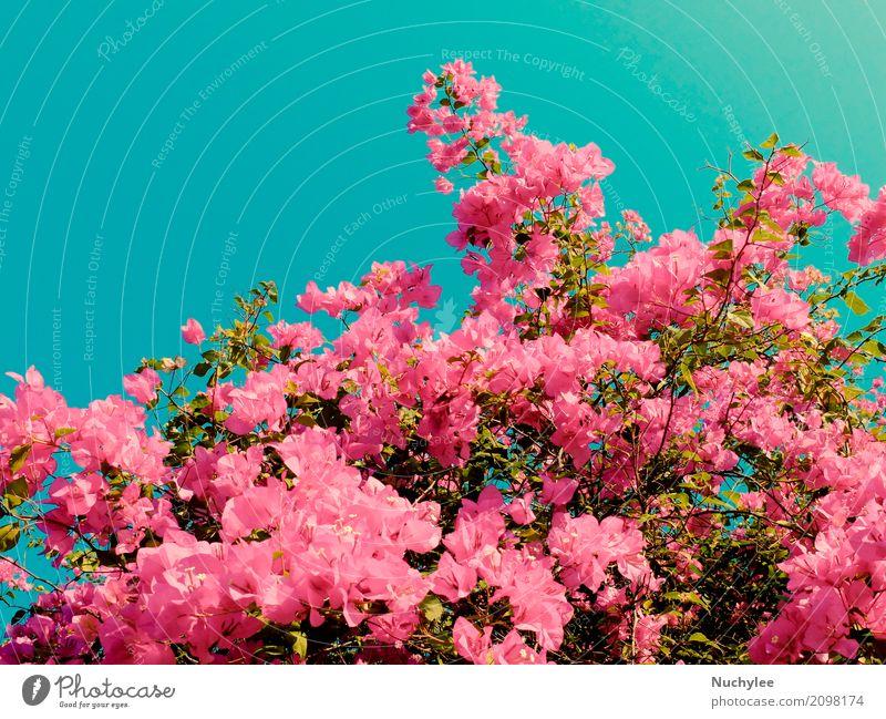 Bush von Bougainvillea Blumen schön Sommer Garten Dekoration & Verzierung Pflanze Blatt Blüte frisch natürlich retro blau grün rosa Romantik Farbe Hintergrund