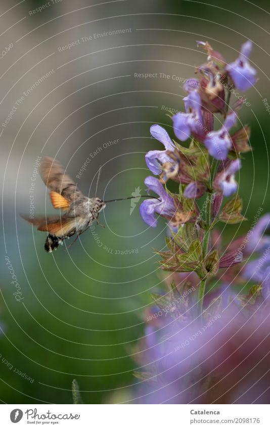 Auftanken Natur Pflanze Tier Sommer Blüte Salbei Salbeiblüten Garten Schmetterling Taubenschwänzchen 1 Blühend fliegen trinken verblüht ästhetisch sportlich