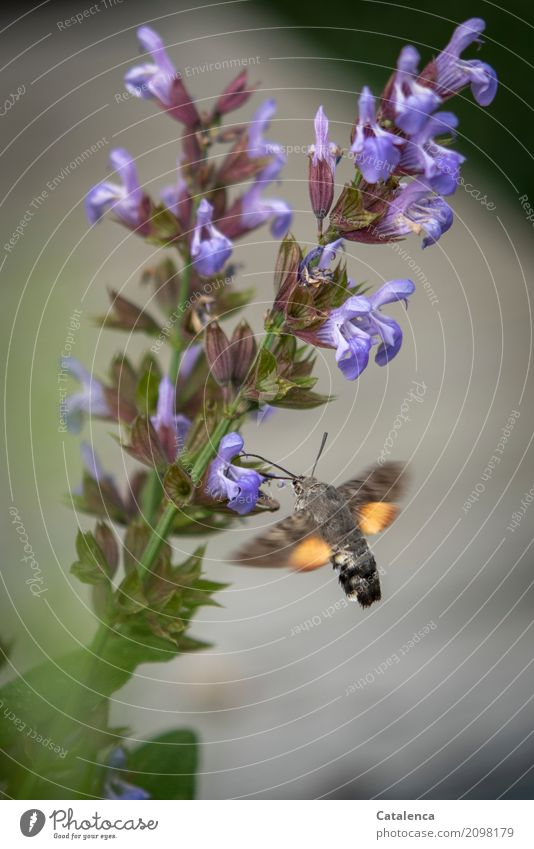 Taubenschwänzchen Natur Pflanze Sommer Blatt Blüte Salbei Salbeiblüten Garten Schmetterling 1 Tier rennen Bewegung Blühend Duft fliegen Fressen sportlich Erfolg