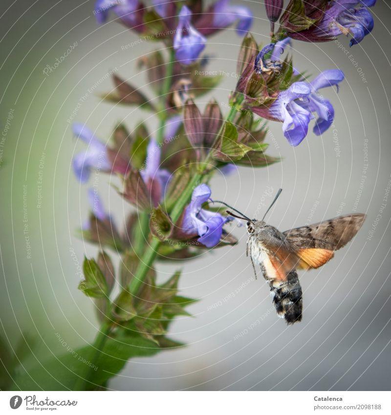 Taubenschwänzchen und Salbeiblüten Pflanze Tier Sommer Blatt Blüte Garten Schmetterling Motte 1 Blühend Duft fliegen trinken Geschwindigkeit braun grün violett