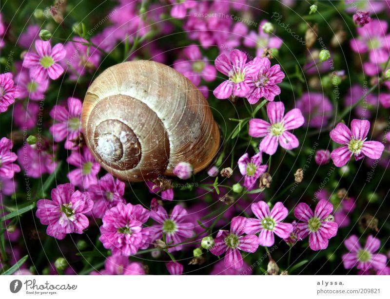 Schnecke im Blumenfeld. Natur Pflanze Sommer Tier Blüte braun rosa Umwelt violett Blühend Pflanzenteile Schneckenhaus