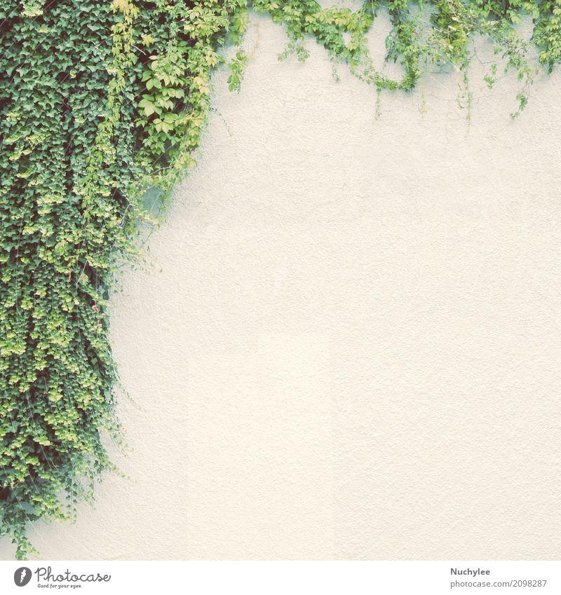 Efeuanlage auf weißer Wand Leben Sommer Garten Dekoration & Verzierung Klettern Bergsteigen Umwelt Natur Landschaft Pflanze Frühling Baum Blatt Wege & Pfade
