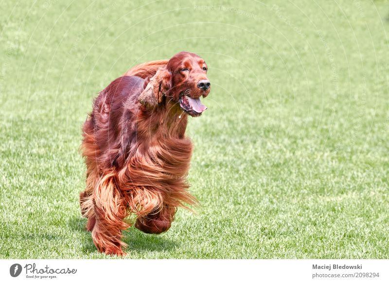 Natur Hund Sommer schön grün rot Tier Freude Wiese Gras Glück braun Freundschaft Textfreiraum Fröhlichkeit Lebensfreude