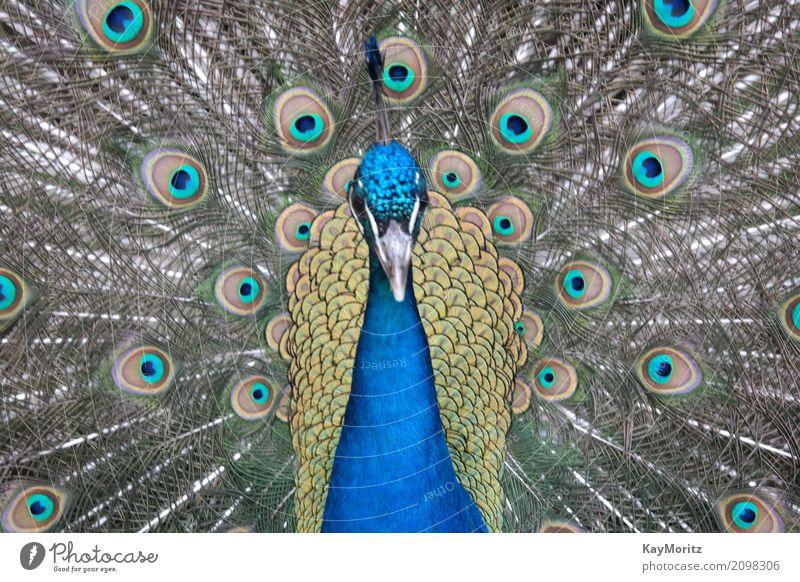 Pfau Tier Vogel 1 Coolness Pfauenmaske Farbfoto Nahaufnahme Makroaufnahme Tag Tierporträt