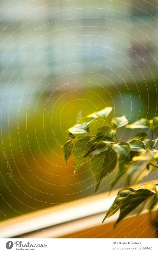 Zimmerpflanze Natur Pflanze Blatt Grünpflanze Nutzpflanze Topfpflanze ästhetisch authentisch einfach grün Fenster Fensterscheibe Wachstum Farbfoto Innenaufnahme