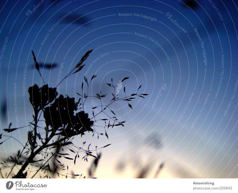 Abendwiese Himmel Natur blau Pflanze Sommer schwarz dunkel Umwelt Landschaft Gras hoch dünn Schönes Wetter Stengel Abenddämmerung Samen