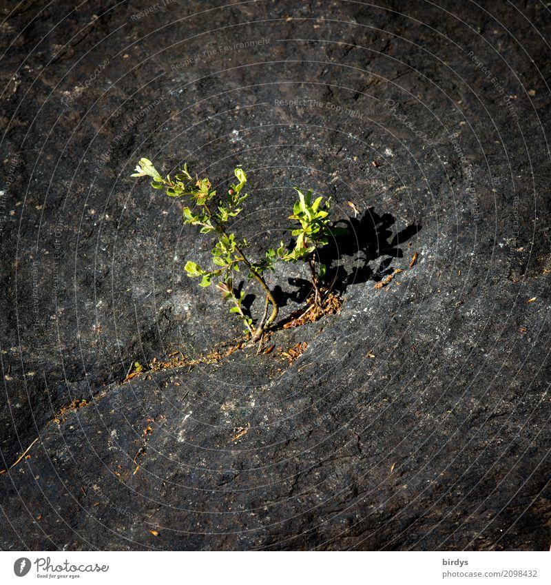 Genügsamkeit Urelemente Pflanze Wildpflanze Felsen Stein Wachstum außergewöhnlich positiv stark grau grün Kraft Gelassenheit standhaft bescheiden