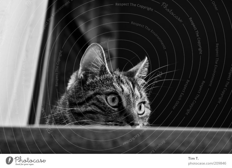 Berliner Mieze Tier Fenster Katze offen Tiergesicht beobachten Neugier Wachsamkeit Haustier Hauskatze achtsam Schwarzweißfoto Katzenauge Fenstersims