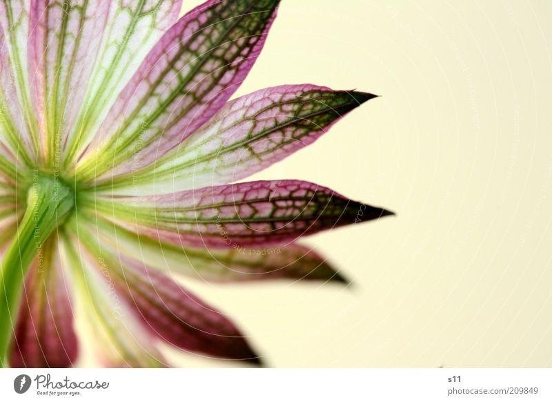 auch ein Rücken kann entzücken... Natur schön weiß Blume grün Pflanze Sommer Farbe Blüte hell Stern (Symbol) ästhetisch violett Spitze außergewöhnlich Stengel