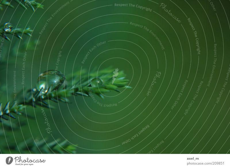 Wassertropfen Pflanze Sommer Regen nah nass natürlich grün ruhig rein Umwelt Wachstum Farbfoto Außenaufnahme Makroaufnahme Textfreiraum rechts Tag