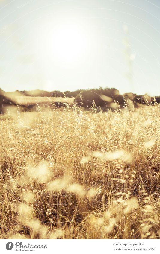 Ernten was man sät Sonne Schönes Wetter Pflanze Nutzpflanze Feld Blühend Weizen Weizenähre gold gelb Farbfoto Außenaufnahme Detailaufnahme Menschenleer