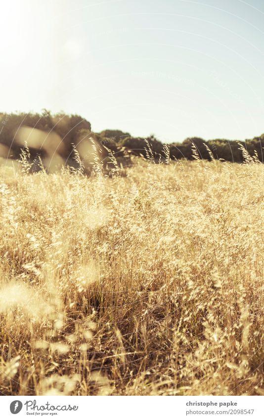 goldene ähren Umwelt Natur Landschaft Pflanze Wolkenloser Himmel Gras Sträucher Nutzpflanze gelb Ähren Weizen Feld Außenaufnahme Menschenleer Textfreiraum oben