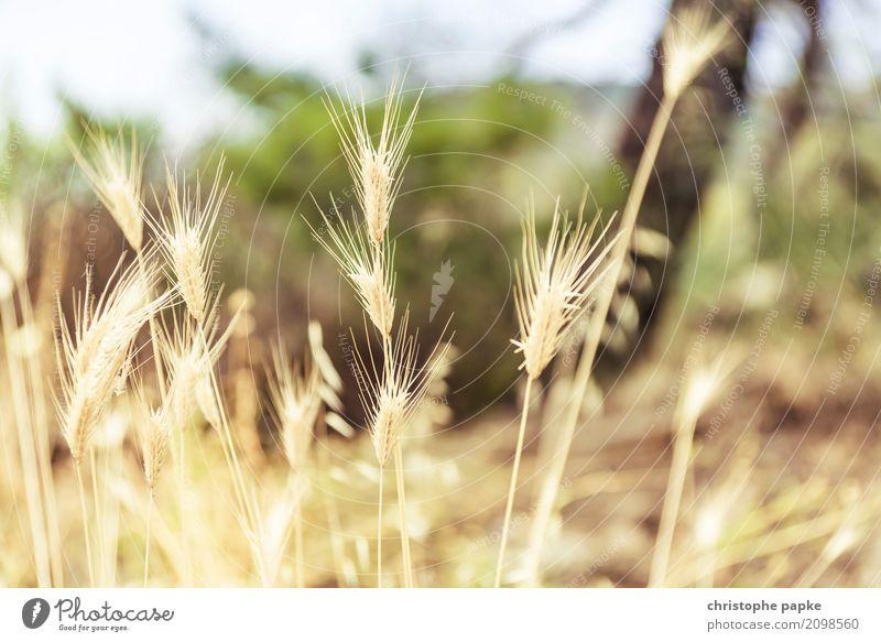 goldene ähren Pflanze Nutzpflanze Feld natürlich Weizen Getreide Wildpflanze gelb Farbfoto Außenaufnahme Detailaufnahme Menschenleer Tag Licht