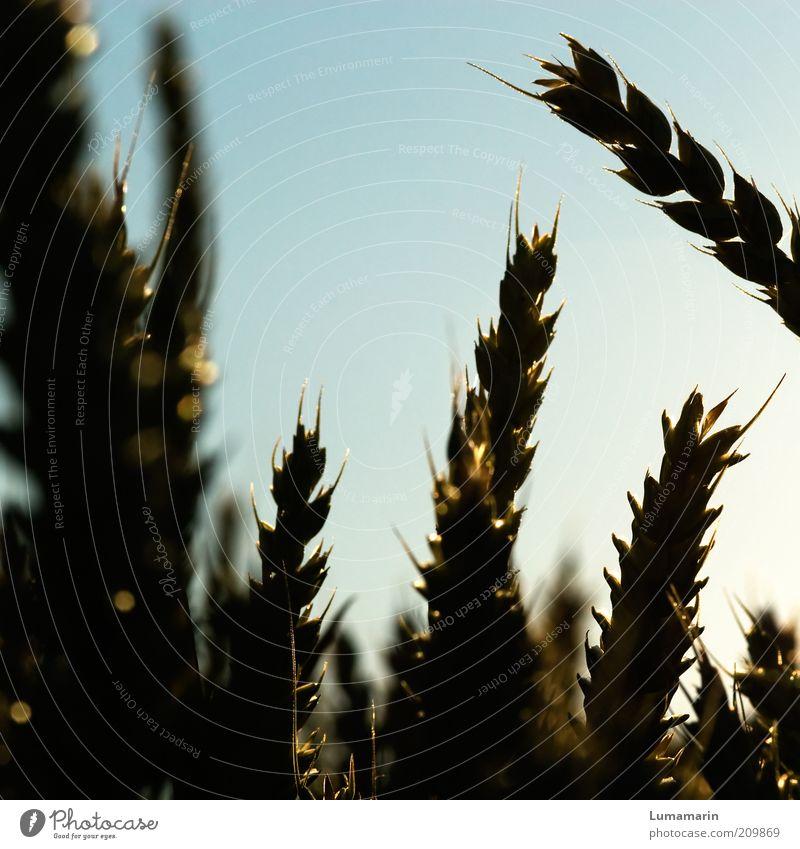Abendbrot Getreide Ernährung Umwelt Nutzpflanze einfach nah natürlich Stimmung Wachstum Weizen Ähren Reifezeit reif Ernte Landwirtschaft Agrarprodukt Korn
