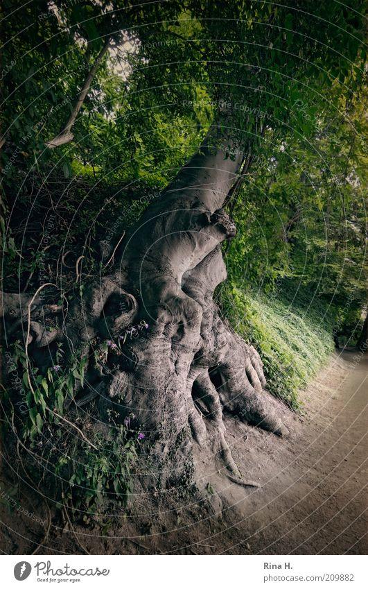 Seite an Seite Natur alt Baum grün Pflanze Wald Umwelt Wachstum authentisch natürlich Hügel Wurzel standhaft Wildpflanze Naturwuchs